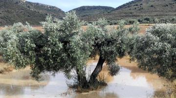 Los olivos y la sabiduría de los mayores